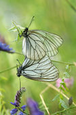 A mating pair of black-veined white butterflies (Aporia crataegi — Stockfoto