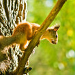 Squirrel siting on branch with a nut in his mouth - Stock Photo
