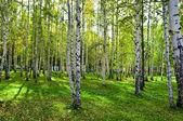 Brzozowy las z cieni — Zdjęcie stockowe