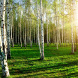 Birch wood in Russia — Stock Photo #8152951