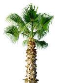 Palm tree isolated on white background — Stock Photo