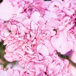 Close-up of colourful pink flowers. Background — Stock Photo