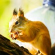 Squirrel siting on branch — Stock Photo