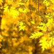 Autumn yellow leaves, shallow focus — Lizenzfreies Foto