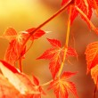 Autumn leaves, very shallow focus — Stock Photo #9975688