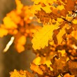 Autumn yellow oak leaves, shallow focus — Stock Photo
