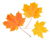 Colorful autumnal leaves — Stock Photo