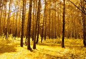 Golden evening forest — Stock Photo