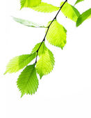 Green leaves on white — Stock Photo