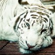 White tiger — Stock Photo #9983675