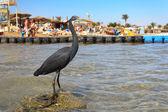 Little blue heron (Egretta caerulea) on the beach in Naama Bay i — Stock Photo