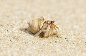 Hermit Crab on a beach — Stock Photo