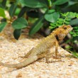 Stock Photo: Wild lizard