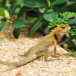 Wild lizard - Stock Photo