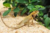Wild lizard — Stock Photo