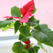 Poinsettia — Stock Photo #10709506