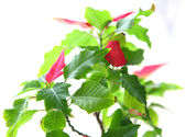 Poinsettia — Stock Photo