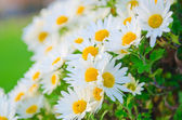 Camomiles flowers in nature concept — Stock Photo