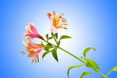 Colourful lilies against gradient background — Stock Photo