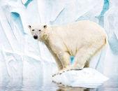 белый полярный медведь против снежная гора — Стоковое фото