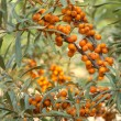 Sea-buckthorn — Stock Photo #8519592