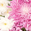 Chrysanthemum — Stock Photo #8519623