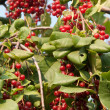 Viburnum — Stock Photo #8757276