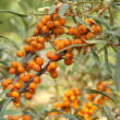 Sea-buckthorn — Stock Photo #8757284