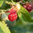 Raspberry - Foto de Stock  
