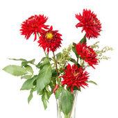 Red dahlias — Stock Photo