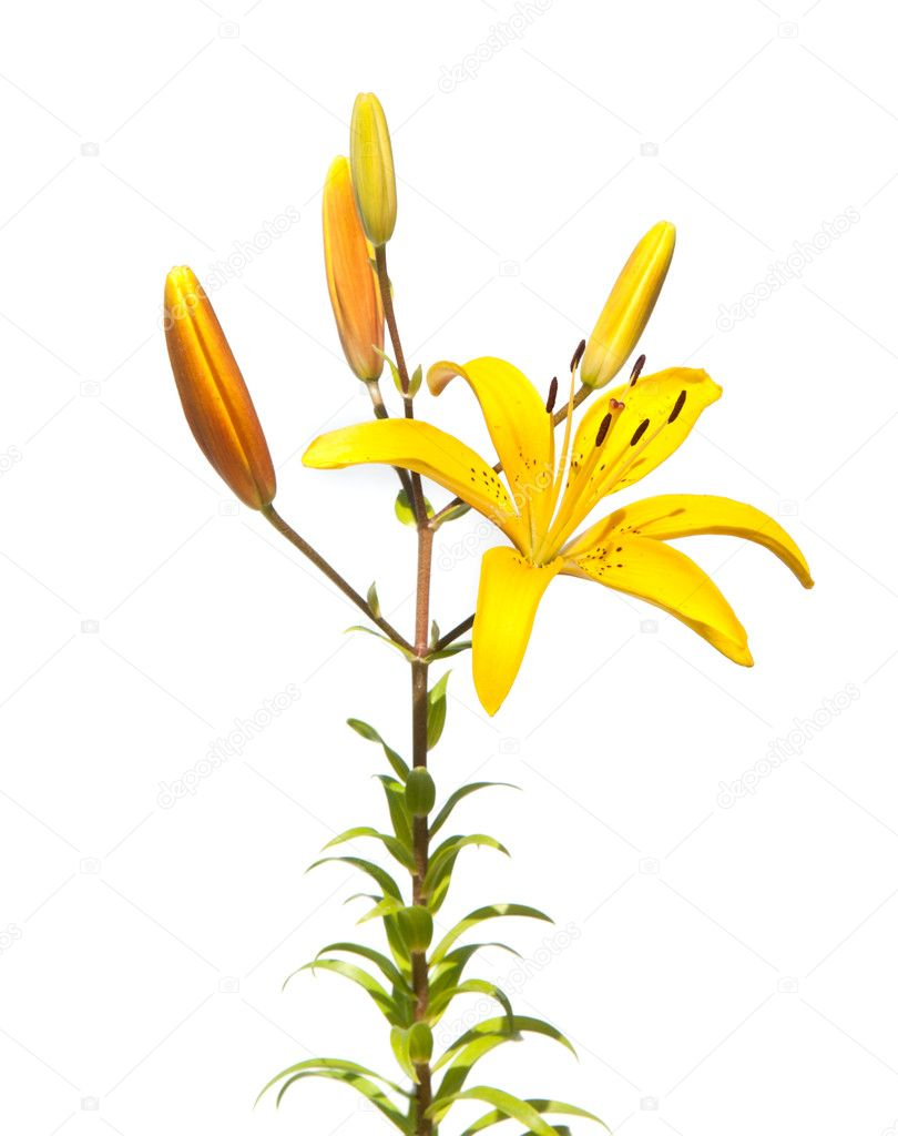 Yellow lily isolted on white — Stock Photo #8756549