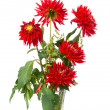 Red dahlias — Stock Photo #9097567