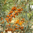 Sea-buckthorn — Stock Photo #9097616