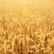 Field of rye — Stock Photo #9449404