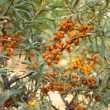 Sea-buckthorn — Stock Photo #9449474