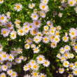 Camomile — Stock Photo #9565553
