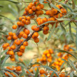 Sea-buckthorn — Stock Photo #9566767
