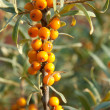 Sea-buckthorn — Stock Photo #9566771