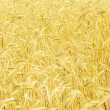 Field of rye — Stock Photo