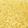 Field of rye — Stock Photo #9566917