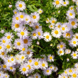 Camomile — Stock Photo #9567026