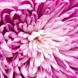 Chrysanthemum — Stock Photo #9567228