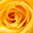 Royalty-Free Stock Photo: Yellow rose