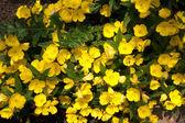 Oenothera, evening primrose — Stock Photo