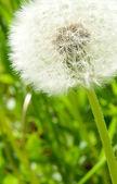 White dandelion — Stock Photo