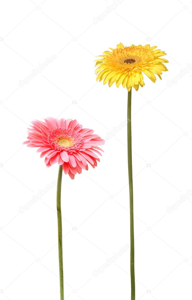 Two gebera (african daisy) isolated on white — Stock Photo #9567029