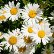 Camomile — Stock Photo #9813071