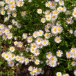 Camomile — Stock Photo #9813475