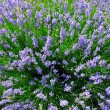 Lavender — Stock Photo #9545805