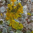 Lichen - Stock Photo